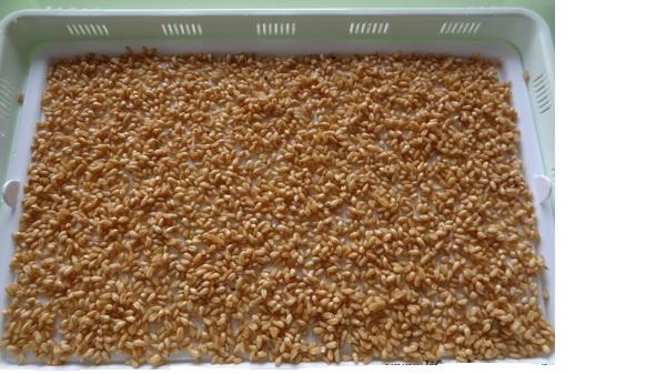 Cách ủ mầm đậu nành không bị thối