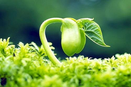 Trong mầm đậu nành có chất gì? Thành phần dinh dưỡng có trong mầm đậu nành